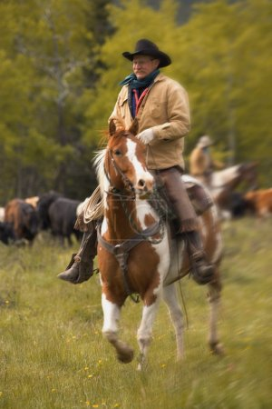 Cowboy On Cattle Round Up In Southern Alberta Canada