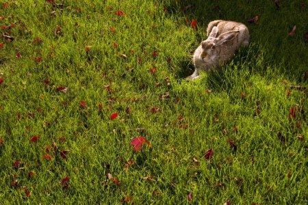 Photo pour Un lapin dans l'herbe - image libre de droit