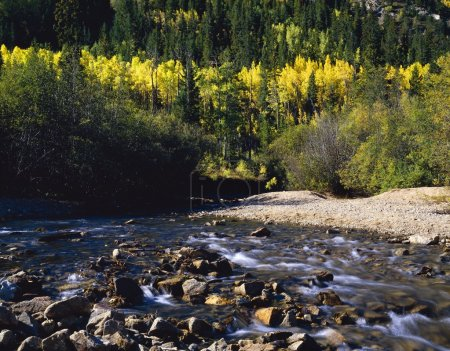 Photo pour Aspens d'automne le long du ruisseau Cottonwood, forêt nationale de San Isabel - image libre de droit