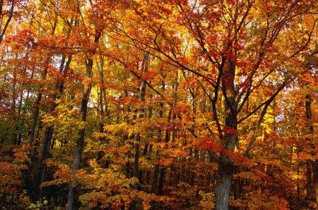 Photo pour Feuilles d'automne sur les arbres - image libre de droit