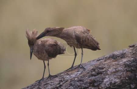 Hamerkop (Scopus Umbretta) Cleans Feathers Of Mate, Serengeti National Park, Tanzania, Africa