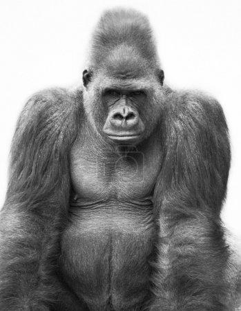 Photo pour Gorille - image libre de droit