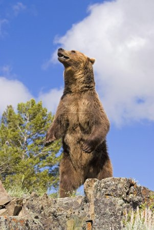 Grizzly Bear Standing On A Ridge