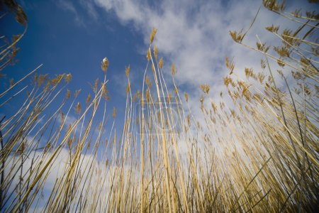 Low Angle Of Wheat Field
