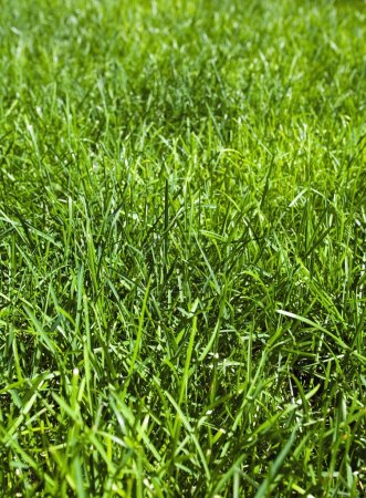 Photo for Green Grass - Royalty Free Image