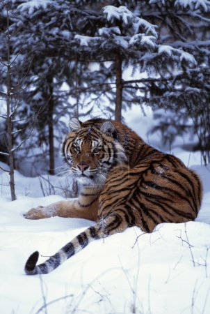 Siberian Tiger Lying On Mound Of Snow In Forest