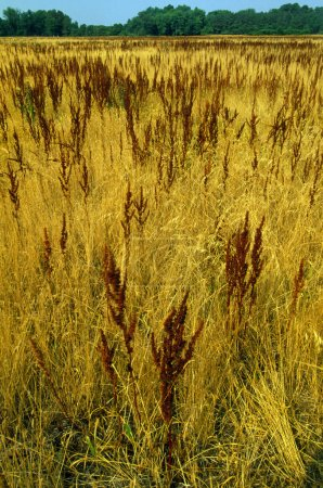 Field Of Cinnamon Fern