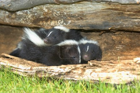 Young Skunks Burrowing In Hollow Log