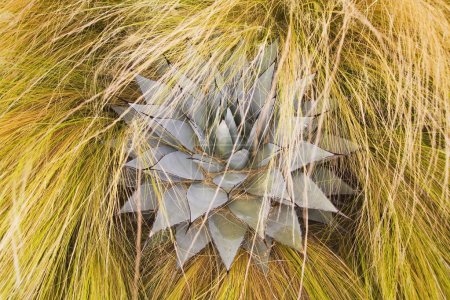 Agave Plant Hidden In Tall Grass