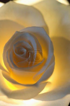 Delicate White Rose