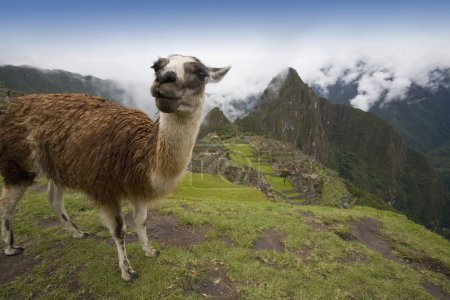 Llama (Lama Glama), Machu Picchu, Peru. Pre-Columbian Inca Site Built Around 1460 Ad