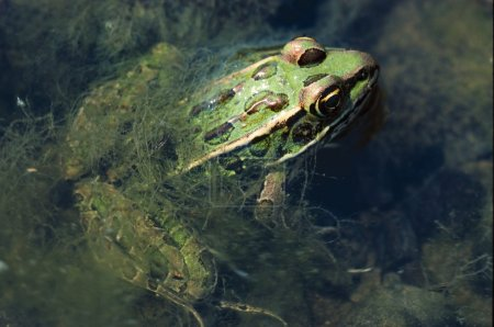 Northern Leopard Frog In Water