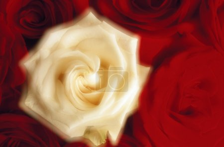 Rose Blossoms (Soft Focus)