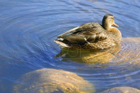 Photo pour Canard nageant dans l'étang - image libre de droit