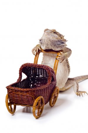 Bearded Dragon Pushing Wicker Baby Carriage