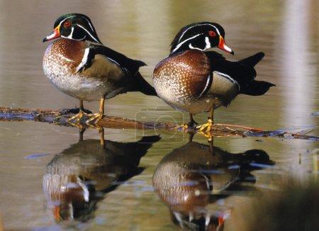 Pair Of Wild Birds