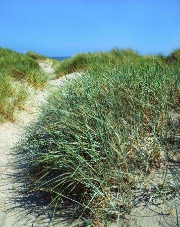 Grasses, Sand Dunes, Dollymount Strand, Dublin Bay, Ireland