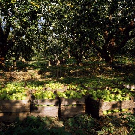 Apple Orchard, Ireland