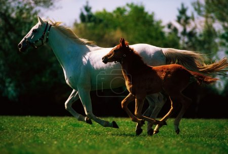 Ireland. Mare And Foal Galloping Together