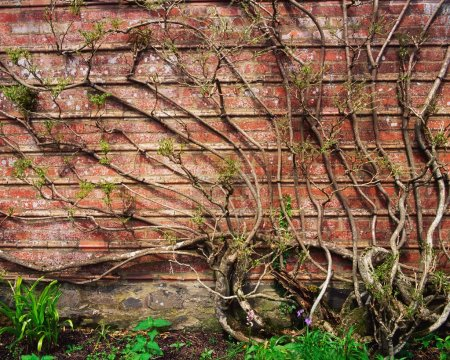 Photo for Wisteria Climbing Garden Wall - Royalty Free Image