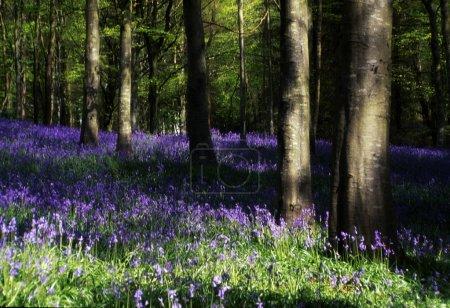 Photo pour Glens d'antrim, bois bluebell, forêt de portglenone, Irlande - image libre de droit