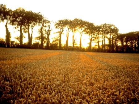 Wheat Field, Ireland