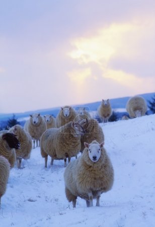 Sheep, Wicklow Mountains