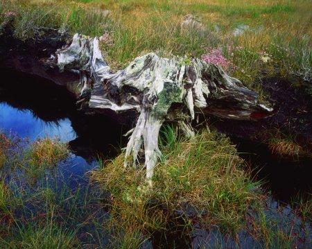 Co Mayo, Achill Island, Bog Wood, Ireland