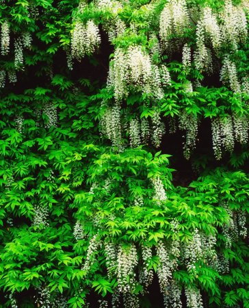 Photo for Wisteria - Royalty Free Image