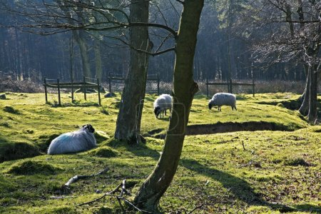 A Field Of Sheep In Derbyshire, England