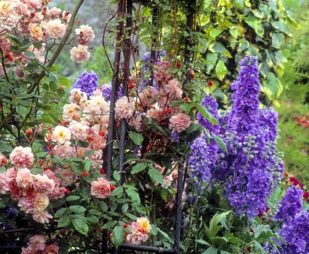Roses And Delphiniums, Sandford Road, Dublin, Ireland