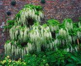 Wisteria Climbing Garden Wall