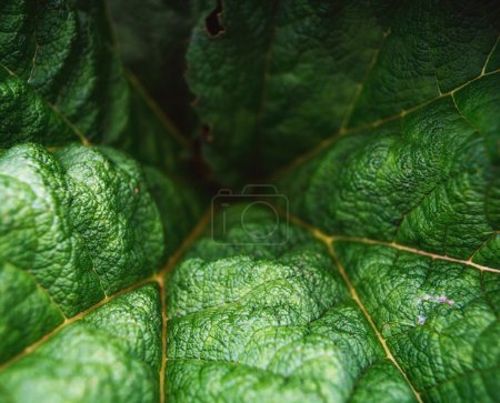 Gunnera Leaves