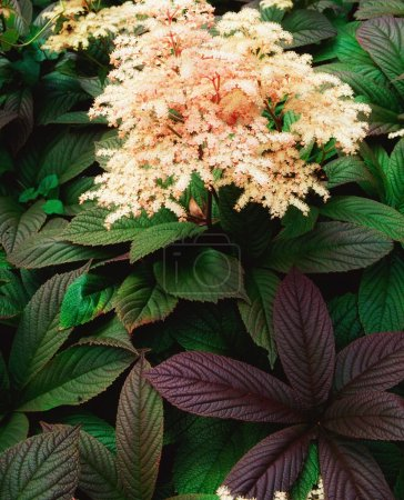 Photo for Rodgersia Pinnata - Royalty Free Image