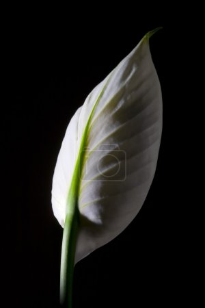 Photo for Peace Lily - Royalty Free Image