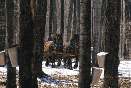 Horses Pulling Wagon In Maple Forest
