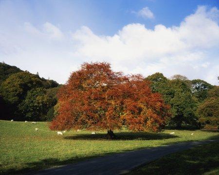 Beech Tree, Glendalough, Co Wicklow, Ireland