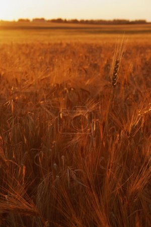 A Sunset Over A Wheat Field