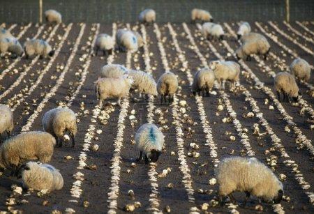 Photo pour Moutons se nourrissant de navets - image libre de droit