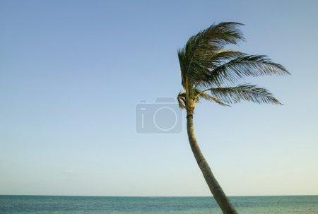 Photo pour Palmier soufflant dans le vent dans les clés de Floride - image libre de droit