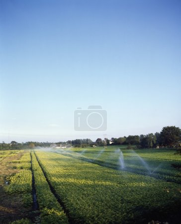 Irrigation, Celery, Kinsealy, Co Dublin, Ireland