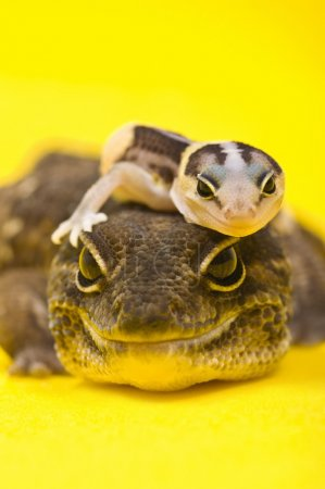 Photo pour Bébé africain à queue grasse Gecko couché sur le dessus de son parent - image libre de droit