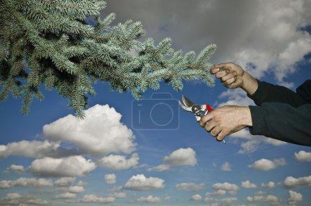 Photo pour Élagage, élagage d'une branche d'arbre - image libre de droit