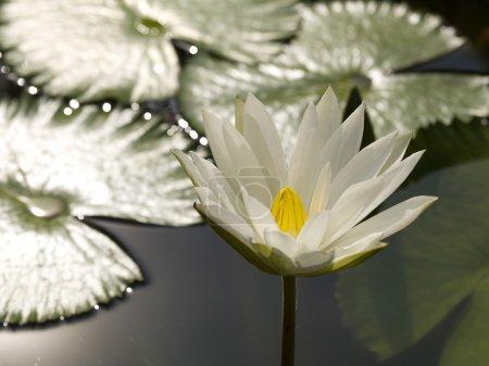 Photo pour Lys d'eau, fleurs - image libre de droit