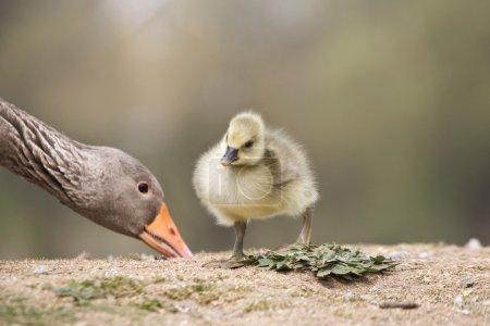 Photo pour Oie avec bébé poussin - image libre de droit