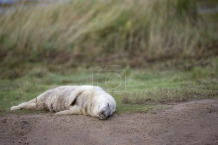 Gray Seal (Halichoerus Grypus), Donna Nook, Lincolnshire, England. Baby Seal Sleeping On The Ground