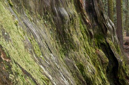 Photo pour Arbre couvert de mousse, sequoia national park, Californie, Etats-Unis - image libre de droit