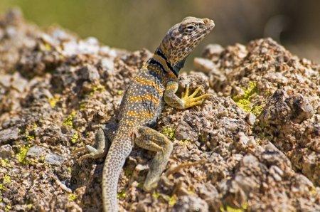 Foto de Lagarto de Cuenca Grande (Crotaphytus Bicinctores ) - Imagen libre de derechos