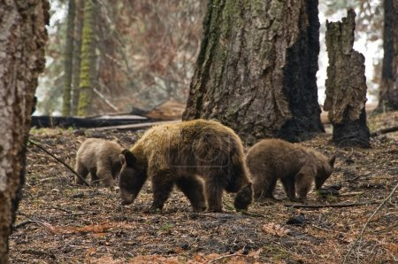Mother american black bear and her cubs