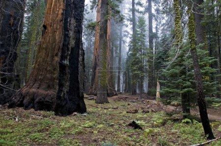 Photo pour Sequoia national park, Californie, Etats-Unis - image libre de droit